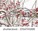 Winterberry Tree Mid Winter ...
