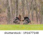 Wild Turkey Strutting For A...