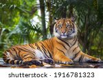 This Beautiful Bengal Tiger Is...