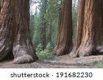 Giant Redwood Sequoias