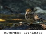 Small photo of Puff-throated babbler or spotted babbler ruffling its feathers to shake out the extra water and fluffs them up to dry in the air , Thailand