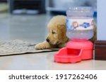 Golden Retriever Puppy Looking...