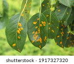 Fresh Pear Tree Leaves With...