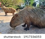 Two Capybara In The Zoo
