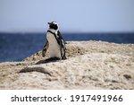 An African Penguin  Spheniscus...