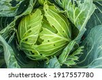 Cabbage Damaged By Pest Close...
