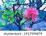 Close Up Of An Ohia Blossom...