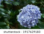 Hydrangea  Common Names...
