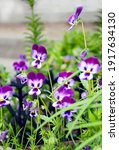 Blue And White Pansy Flowers In ...
