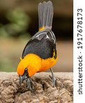 Hooded oriole poses for camera