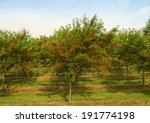 cherry tree in the orchard | Shutterstock . vector #191774198