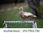 Beautiful Female Mallard Duck...