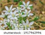 Flower Umbels Milk Star In A...