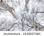 Looking Up At The Bare Branches ...