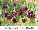 Dark Purple Tulip   Often...