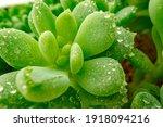 Macro Of Dew Drops On Leaves Of ...