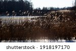 Backlit Plumes Of Reed ...