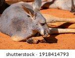 An Australian Kangaroo Lays On...