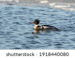 Red Breasted Merganser On The...