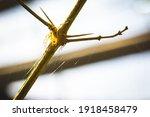 Kidney Garden Spider  Araneus...
