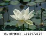 Lotus Blooming White Flowers In ...