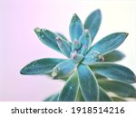 Succulent Shrub Plants...