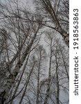 birch trees in winter overcast... | Shutterstock . vector #1918563863