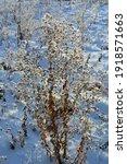 fresh snow on dry herbs in... | Shutterstock . vector #1918571663