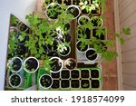 top view on tomato seedlings... | Shutterstock . vector #1918574099