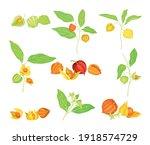 ashwagandha or indian ginseng... | Shutterstock .eps vector #1918574729
