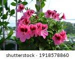 beautiful pink flowers of... | Shutterstock . vector #1918578860