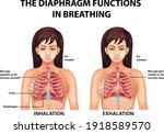 the diaphragm functions in...   Shutterstock .eps vector #1918589570