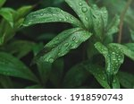 Green Peony Leaves With...