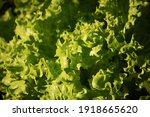 Curly Leaf Lettuce In Sunlight...