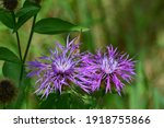 Common Thistle Or Bull Thistle...