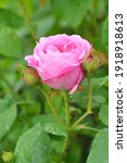 Pink Rose English Rose Blossom...