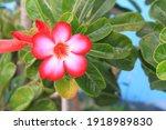 Beautiful Red Desert Rose...