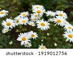 White Beautiful Daisies On A...
