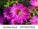 Small photo of Aster novi belgii 'Dandy' a magenta pink herbaceous summer autumn perennial flower plant commonly known as Michaelmas daisy with a honey bee stock photo image