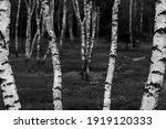 Birch Trees With Emerging...