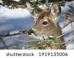 Young White Tail Deer In Winter