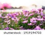 A field of pink starburst...