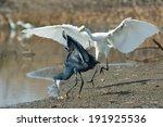A Western Reef Heron  Egretta...