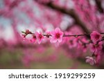 A Branch With A Peach Blossom....