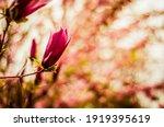 Pink Magnolia Flowers In Spring ...