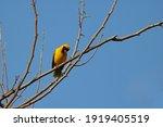 Southern Masked Weaver Bird On...