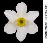 Jonquil Flower. Vector...