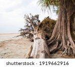 Fallen Tree On The Beach. The...