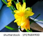 Yellow Narcissus Flowers ...