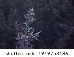 """Spiky """"gorse"""" Plant In The Cold."""